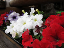 Faces of beautiful flowers. Faces of beautiful petunia flowers Royalty Free Stock Photo