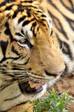 Faces of the Bengal tiger Royalty Free Stock Photo