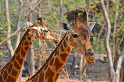 Faces of couple giraffe in a zoo Royalty Free Stock Photo