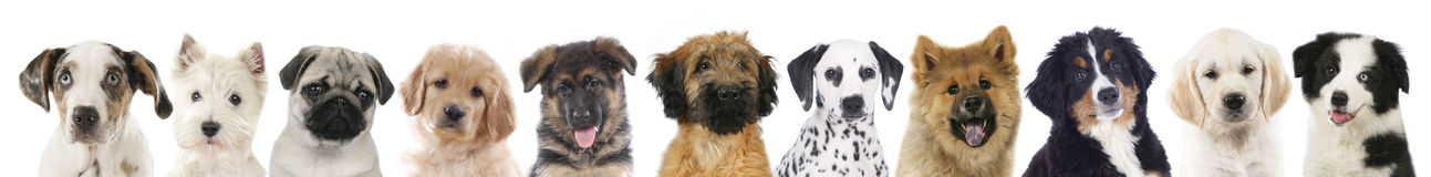 Faces of different dogs. Line of different pets, heads of dogs Royalty Free Stock Images