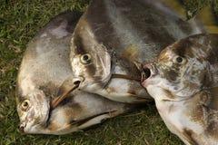 Faces dos peixes Fotos de Stock Royalty Free