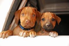 Faces engraçadas do filhote de cachorro Fotos de Stock