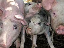 Faces of pigs Stock Images