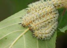 Faces of poisonous Io Moth caterpillars Stock Photos