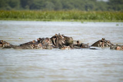 Faces of submerged school of Hippos in Lake Naivasha, Great Rift Valley, Kenya, Africa Stock Photography