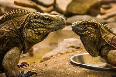 The faces of two cuban rock iguanas close together, tropical and vulnerable lizard specie from the coast of cuba. Faces of two cuban rock iguanas close together stock image