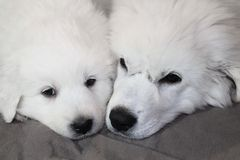 Faces of Two Puppies Lying Together Stock Images