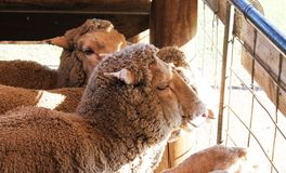 Faces of wooly sheep looking out of pen into sunshine Stock Image