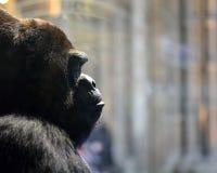 Facet goryl, faszerujący w British Museum historia naturalna, Londyn Zdjęcie Royalty Free