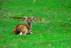 Facetoface avec de jeunes cerfs communs image stock