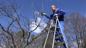 Fachowa ogrodniczka mężczyzna wspinaczka na drabinie i przycina owocowe gałąź zbiory wideo