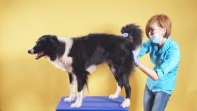 Fachowa weterynarz lekarka sprawdza ogon pies kobieta szczotkuje zwierzęcia domowego zbiory