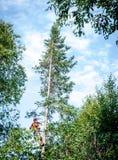Fachowego lumberjack tnący drzewo na wierzchołku Fotografia Stock