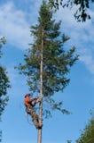 Fachowego lumberjack tnący drzewo na wierzchołku z piłą łańcuchową Zdjęcia Royalty Free