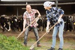 Fachowy personel bierze opiekę krowy w Lin krów stajni Zdjęcie Royalty Free
