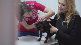 Fachowy weterynarz sprawdza ucho mały czarny pies podczas gdy jego właściciel trzyma on zamknięty w górę Zwierzę domowe jest nieg zdjęcie wideo