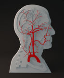 Facial artery circulatory system, section head Royalty Free Stock Images