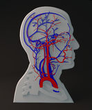 Facial artery and veins circulatory system, section head Stock Images