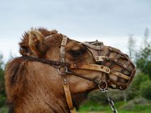 The facial expression of a camel with one hump. The head of a dromedary with a halter Stock Image