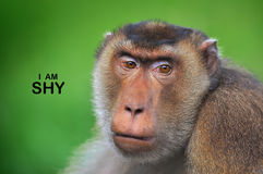 Facial Expression Monkeys Reflect Human Behavior. In series of collections Monkeys Reflect Human Behavior through facial expression such shy, sad, amaze, joy Stock Photo