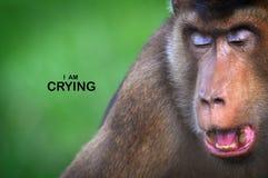 Facial Expression Monkeys Reflect Human Behavior. In series of collections Monkeys Reflect Human Behavior through facial expression such shy, sad, amaze, joy Stock Photos