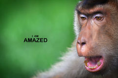 Facial Expression Monkeys Reflect Human Behavior. In series of collections Monkeys Reflect Human Behavior through facial expression such shy, sad, amaze, joy Royalty Free Stock Images