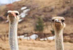Facial expression of two ostrich on the farm. The photo shows the head and neck ostriches Royalty Free Stock Photos