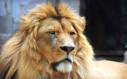 Facial features of African lion Royalty Free Stock Photography