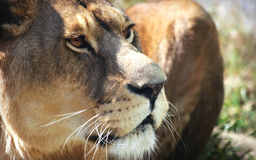 Facial features of African lioness Royalty Free Stock Photo