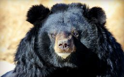 Facial features of Asiatic black bear Royalty Free Stock Photo