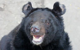 Facial features of Asiatic black bear Stock Images