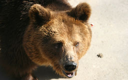Facial features of brown bear Royalty Free Stock Photo