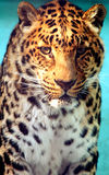Facial features of Chinese leopard or North China leopard Stock Image