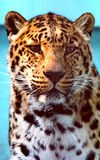 Facial features of Chinese leopard or North China leopard Royalty Free Stock Photos