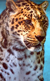 Facial features of Chinese leopard or North China leopard Royalty Free Stock Images