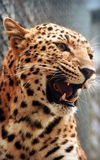 Facial features of Chinese leopard or North China leopard Stock Photography