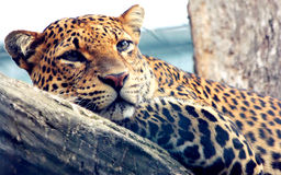 Facial features of Javan leopard. Leopard is one type of mysterious felid, very beautiful Royalty Free Stock Photography