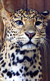 Facial features of Javan leopard Royalty Free Stock Images