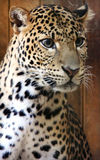 Facial features of Javan leopard. Leopard is one type of mysterious felid, very beautiful Stock Photos