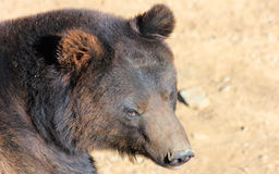 Facial features of Manchu brown bear or Hairy ear bear Stock Image