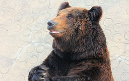 Facial features of Manchu brown bear or Hairy ear bear Royalty Free Stock Photography