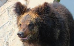 Facial features of Manchu brown bear or Hairy ear bear Royalty Free Stock Photos