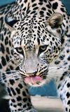 Facial features of Persian leopard or Caucasian leopard. Leopard is one type of mysterious felid, very beautiful Royalty Free Stock Photos
