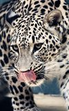 Facial features of Persian leopard or Caucasian leopard. Leopard is one type of mysterious felid, very beautiful Stock Image