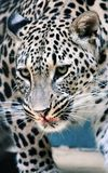 Facial features of Persian leopard or Caucasian leopard. Leopard is one type of mysterious felid, very beautiful Stock Photos