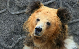 Facial features of Tibetan blue bear or Horse bear Royalty Free Stock Images