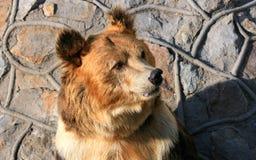 Facial features of Tibetan blue bear or Horse bear Royalty Free Stock Photos