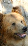 Facial features of Tibetan blue bear or Horse bear Stock Photography