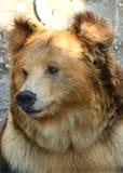 Facial features of Tibetan blue bear or Horse bear Stock Photos