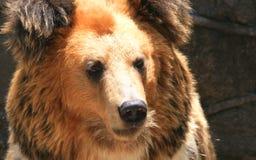 Facial features of Tibetan blue bear or Horse bear Stock Images